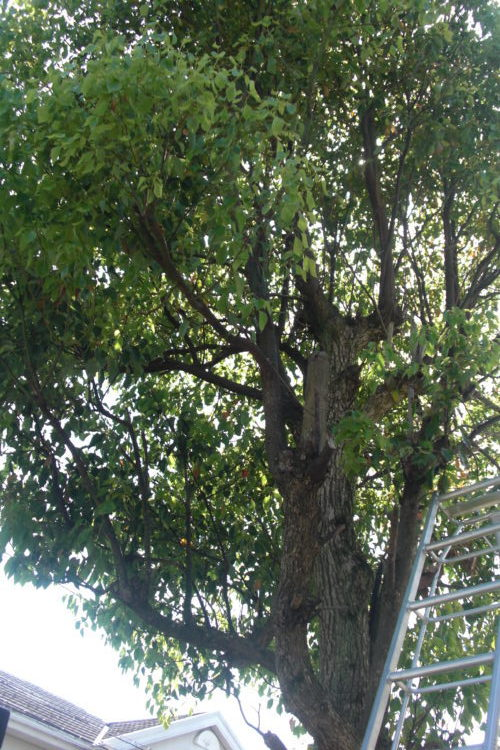 高木の伐採方法