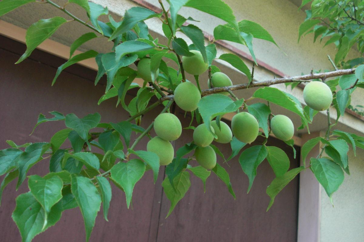 梅の剪定 方法