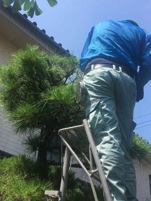 松の木 剪定の仕方